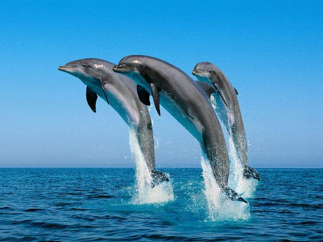 Jumping_Bottlenose_Dolphins