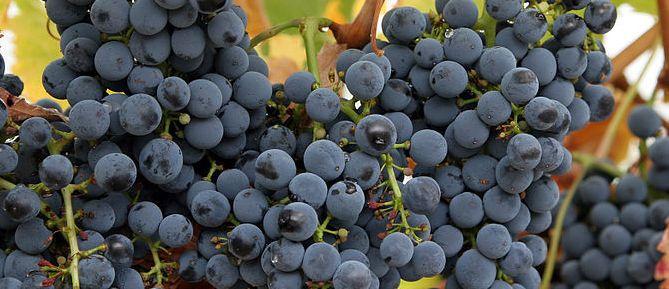 686px-Wine_grapes07